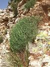 Überall auf dem Epirus zu finden: Wild wachsender Oregano (griechisch: Regani)