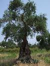 Einer der tausenden uralten Olivenbäumen dieser ionischen Insel
